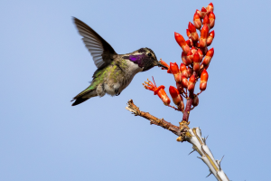 David Morgan's photography of male Costas hummingbird, drinking out of an Ocotillo flower that was taken in Phoenix
